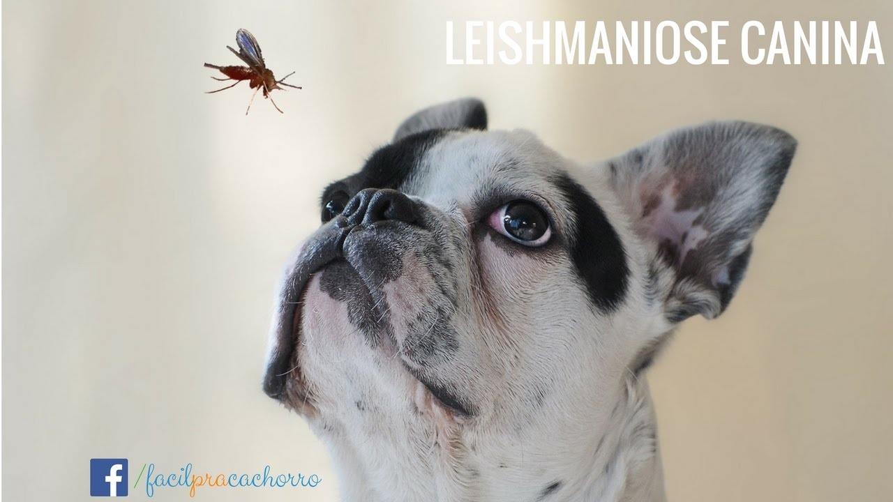 CFMV atualiza documento informativo sobre Leishmaniose Visceral Canina