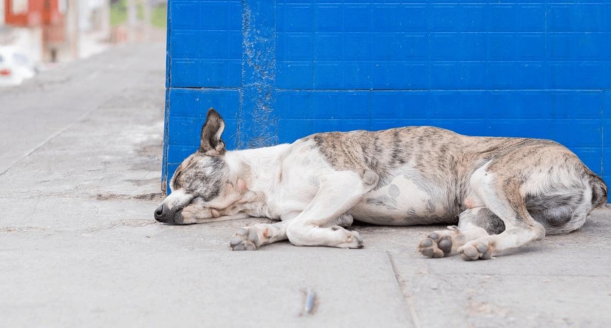 Tudo sobre Leishmaniose Canina